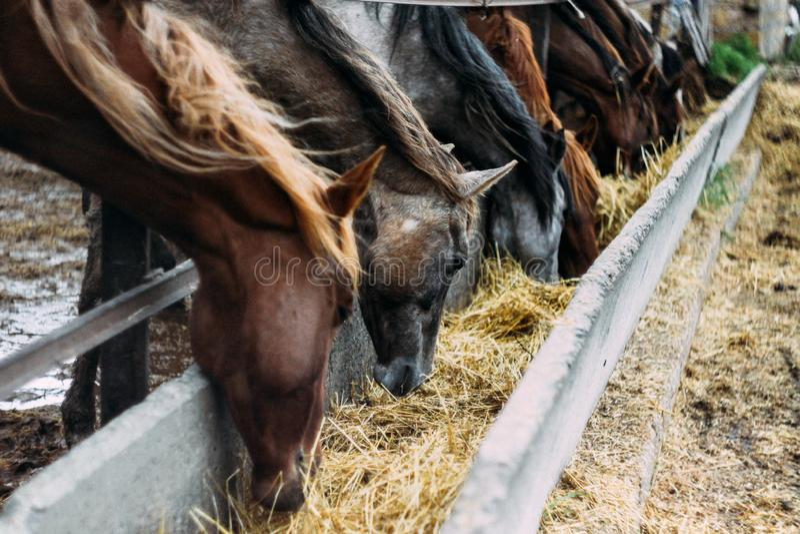 Табун лошадей ест сено Табун красивых лошадей стоковое изображение rf