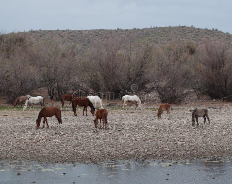 Табун мустанга Salt River одичалый с младенцами стоковые изображения rf