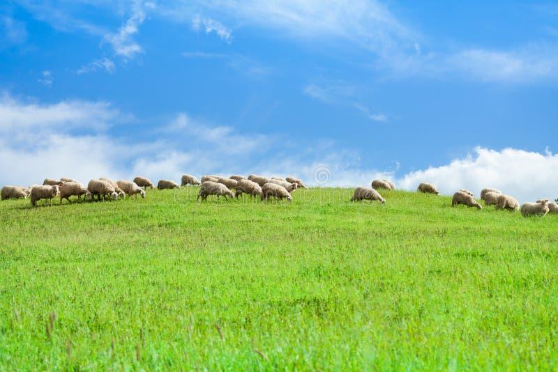 Табун овец в овцах над голубым небом стоковая фотография rf