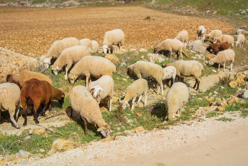 Табун овец и овечек greezing идти вдоль пути к v стоковая фотография rf