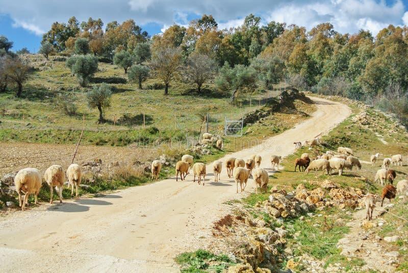 Табун овец и овечек greezing идти вдоль пути к v стоковые фотографии rf