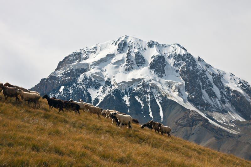 Табун овец идя pasture на предпосылке трясет стоковые изображения rf