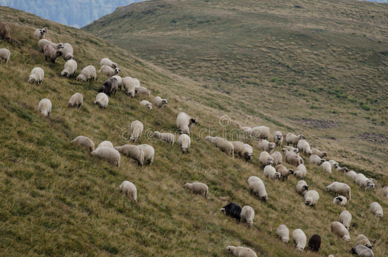 Табун овец на наклоне горы стоковые изображения rf