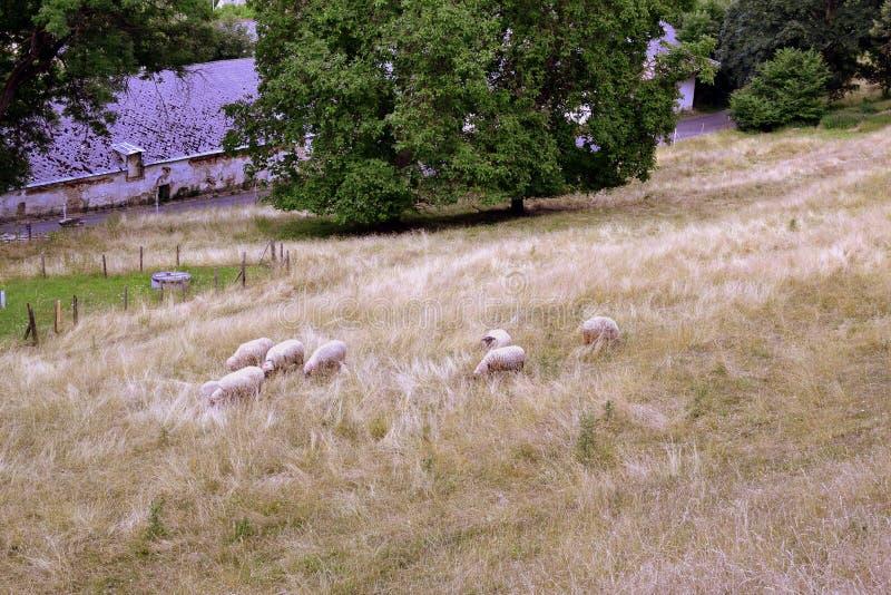 Табун овец пася в луге стоковые фотографии rf