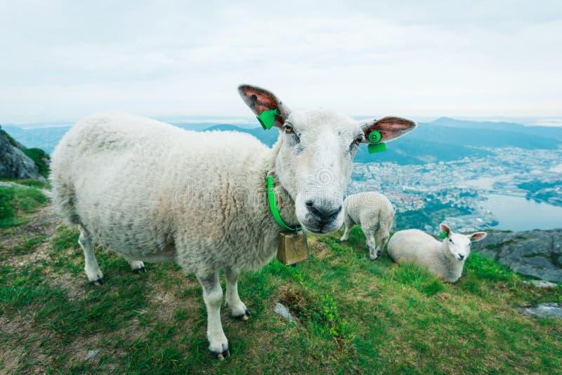 Табун овец пася на лужке горы стоковые изображения