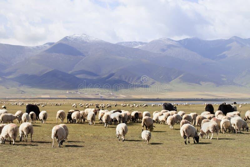 Табун овец с горами на предпосылке, озере Цинха стоковое изображение