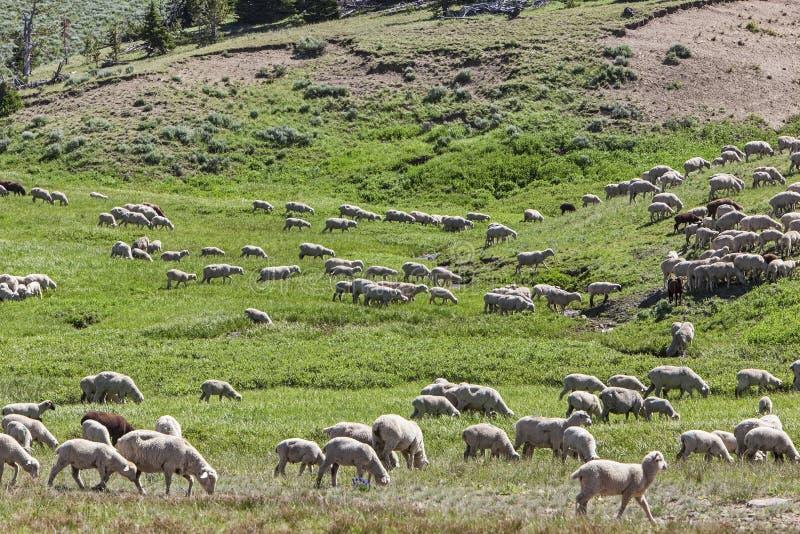 Табун овец фермеров в луге горы стоковое изображение rf