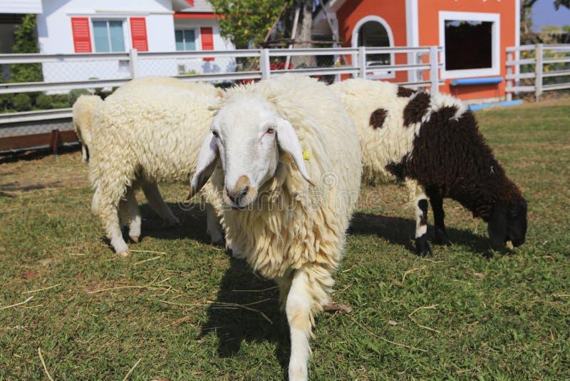 Download Табун овец стоковое фото. изображение насчитывающей ферма - 37928718