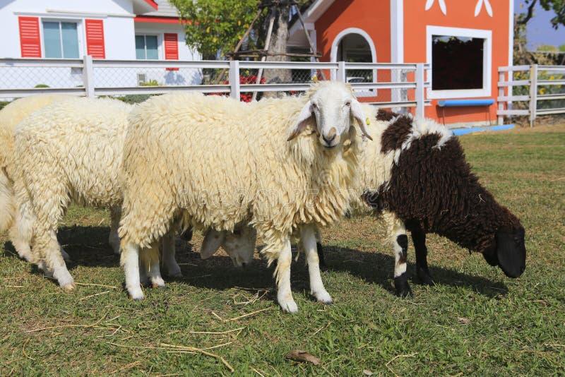 Download Табун овец стоковое изображение. изображение насчитывающей сельско - 37928813