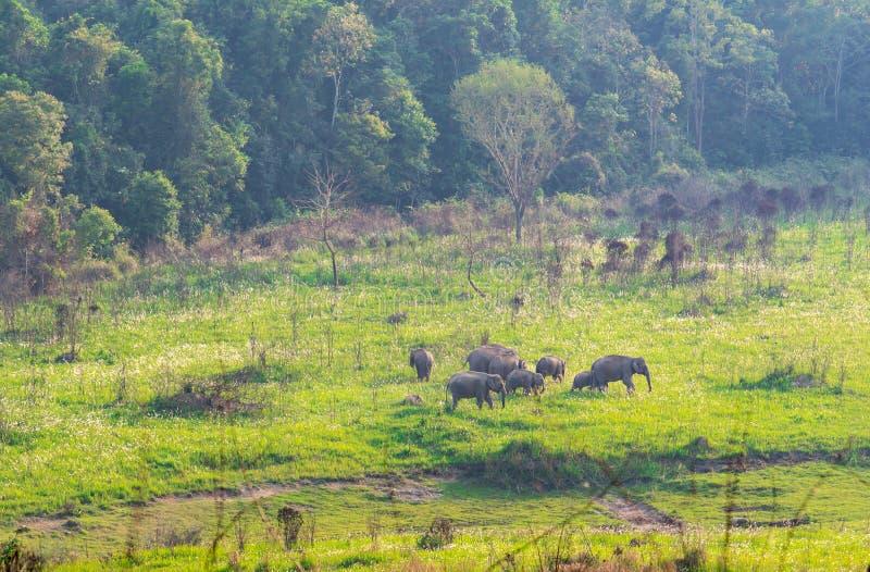 Табун одичалой семьи слонов идя и есть траву в вечере на поле зеленой травы около леса стоковые изображения rf