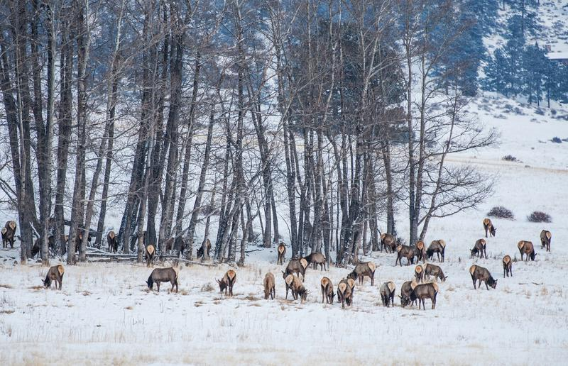 Табун лося Колорадо в зиме стоковое изображение rf