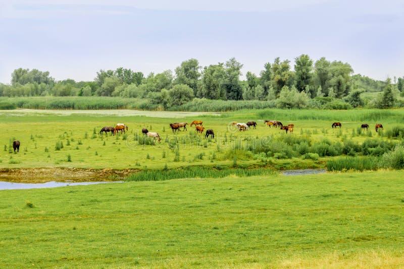 Табун лошадей пася на луге стоковые изображения