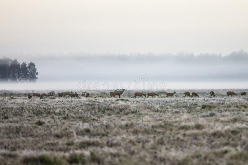 Табун оленей в самом начале туманное утро идет на dur поля стоковое фото