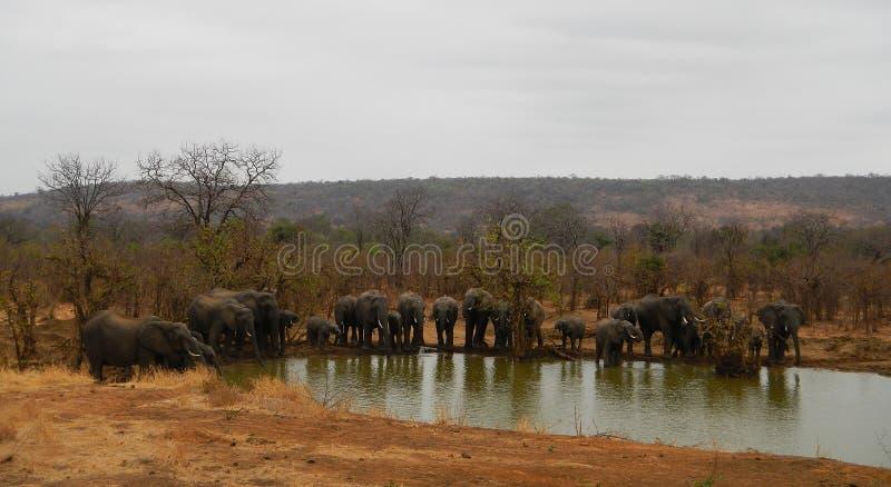 Табун одичалых слонов на пруде, Punda Марии, Kruger, Южной Африке стоковые фотографии rf