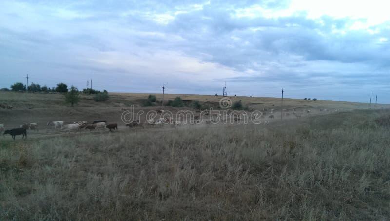 Табун России коров стоковые изображения rf