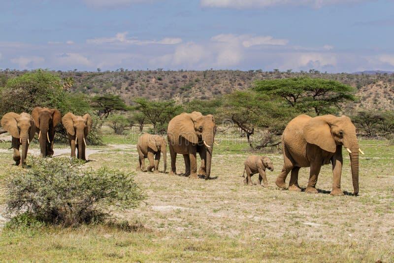 Табун слона идя в Кению стоковое изображение