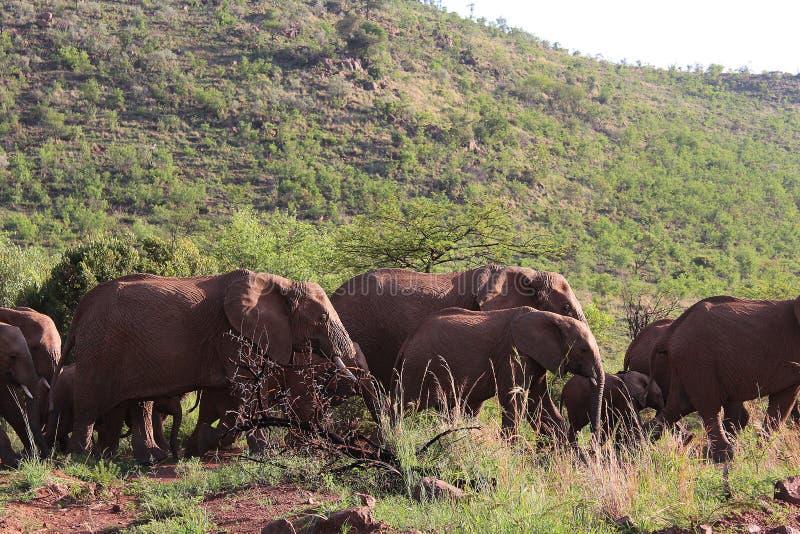 Табун слонов в африканском национальном парке - наблюдать игры стоковое фото rf