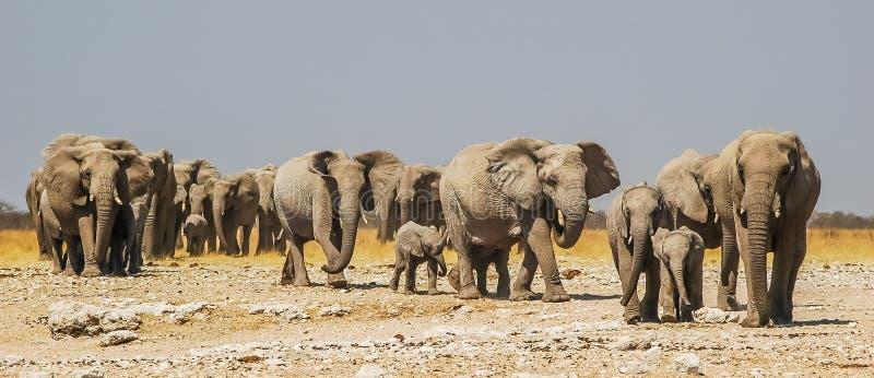 Табун слонов в национальном парке Etosha стоковое фото