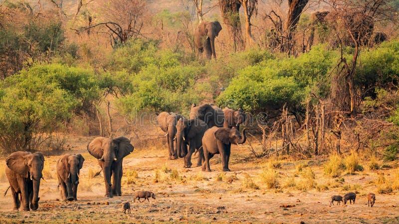 Табун слонов на русле реки okavango стоковое изображение