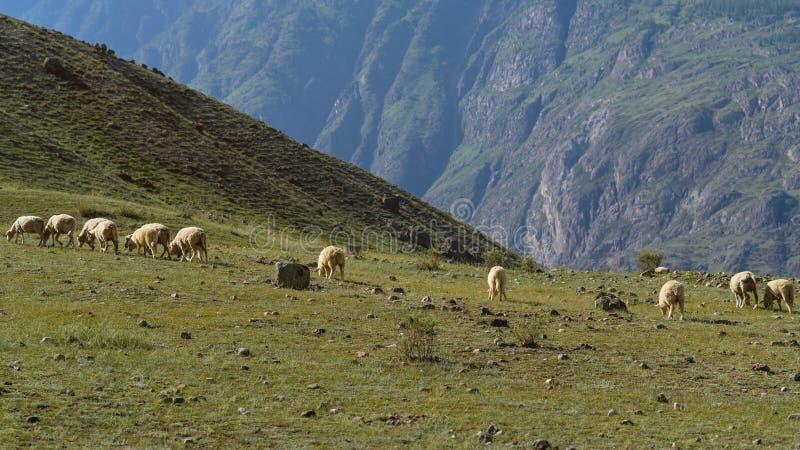 Табун стада пестротканых овец в горах Altai стоковая фотография rf