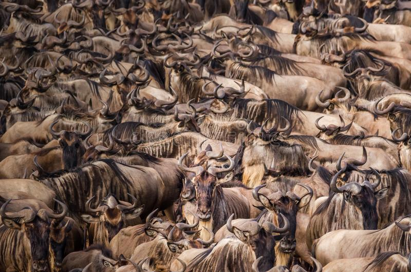 Табун строения антилопы гну вверх по смелости поплавать через Нил во время миграции антилопы гну, один индивидуал смотрит t стоковая фотография rf