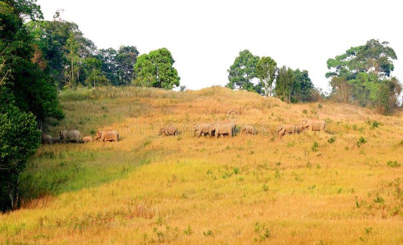 Табун слонов в национальном парке Таиланда стоковые изображения rf