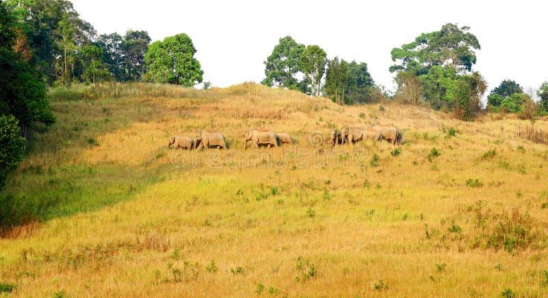 Табун слонов в национальном парке, Таиланде стоковое изображение rf