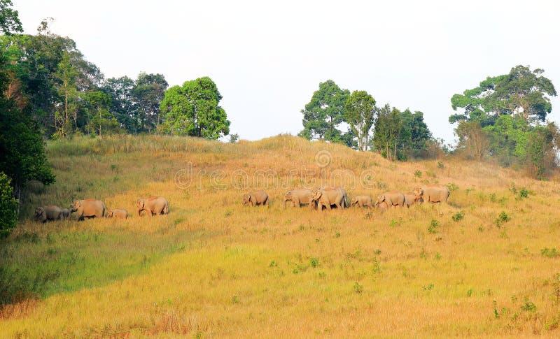 Табун слонов в национальном парке, Таиланде стоковые изображения