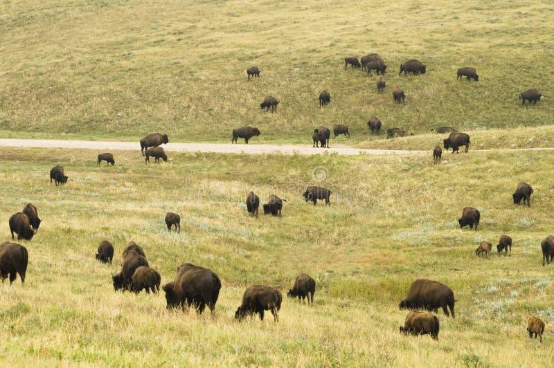 табун 6 буйволов стоковая фотография rf