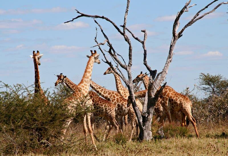 табун giraffes стоковое фото