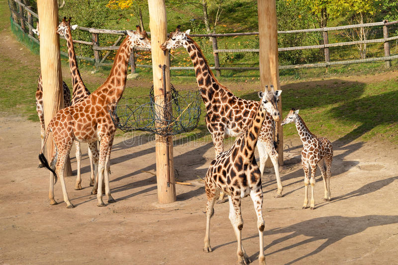 Табун Giraffes стоковое фото rf