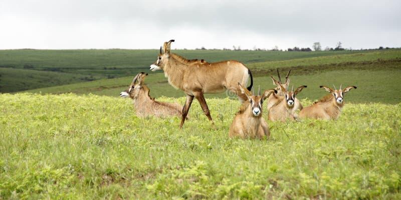 Табун Roan антилопы на холмах плато Nyika стоковое фото rf