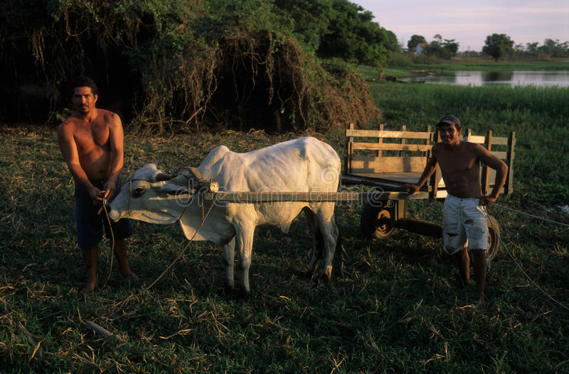 тазик Амазонкы стоковые фотографии rf