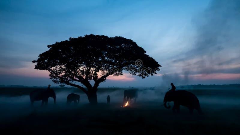 Таиландский край; Силуэт слон на фоне заката, слон тайский в Сурине Таиланд стоковое фото rf
