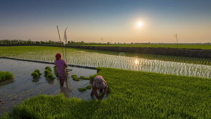 Таиланд & x27; урожай риса s стоковые изображения