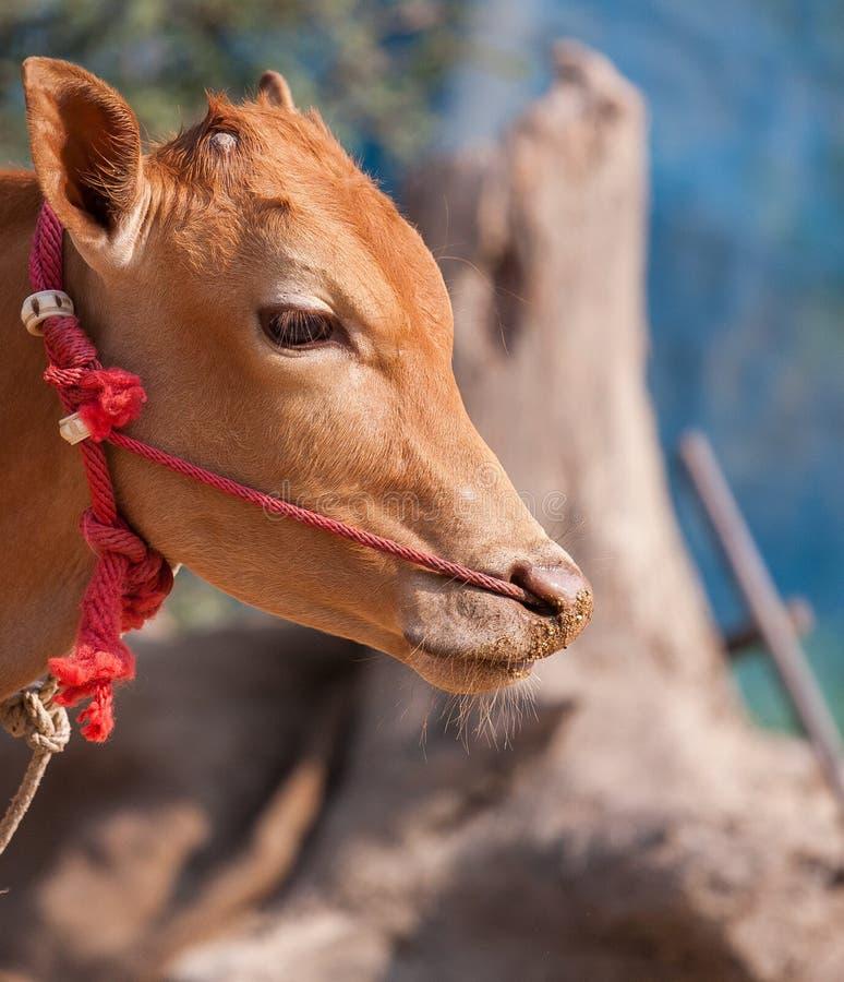 Тайская мужская корова стоковое фото rf