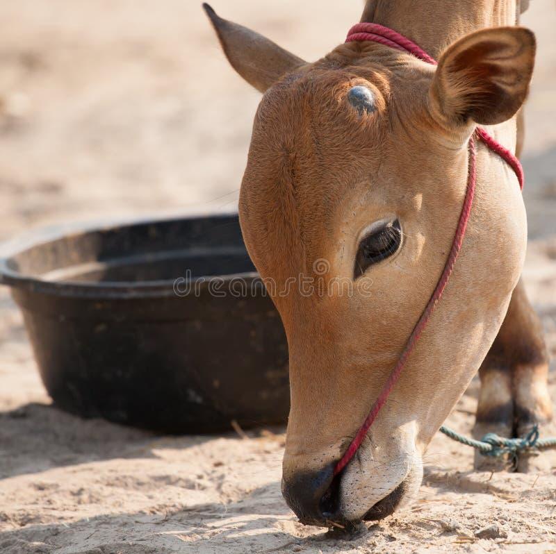 Тайская мужская корова стоковые фото