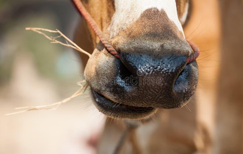 Тайская мужская корова eatting стоковое фото rf