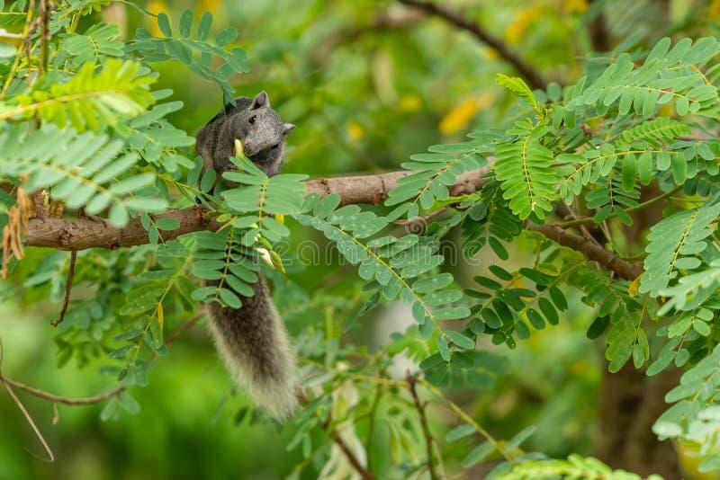 Тайская общая белка грызя цветок колибри овоща стоковое изображение rf