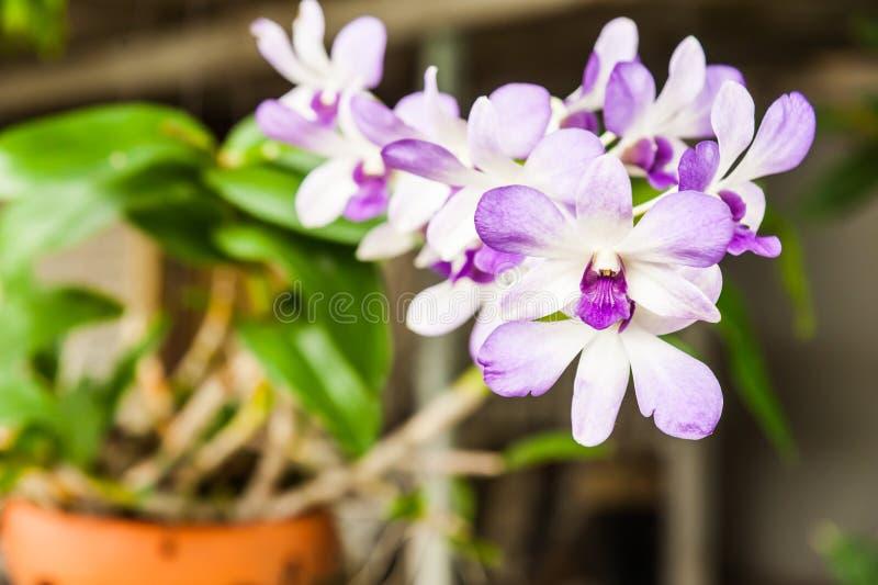 Тайская орхидея стоковая фотография rf