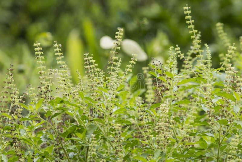 Тайская святая трава овоща базилика стоковое изображение rf