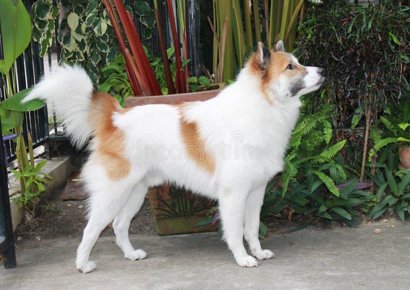 Тайская собака bangkaew стоковое фото
