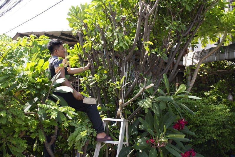 Тайские люди людей садовничая и режа подрезая дерево Plumeria ветви в саде на фронте дома на Nonthaburi, Таиланде стоковое фото rf