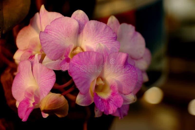 Тайские орхидеи с розовыми цветками и белизной стоковое фото rf