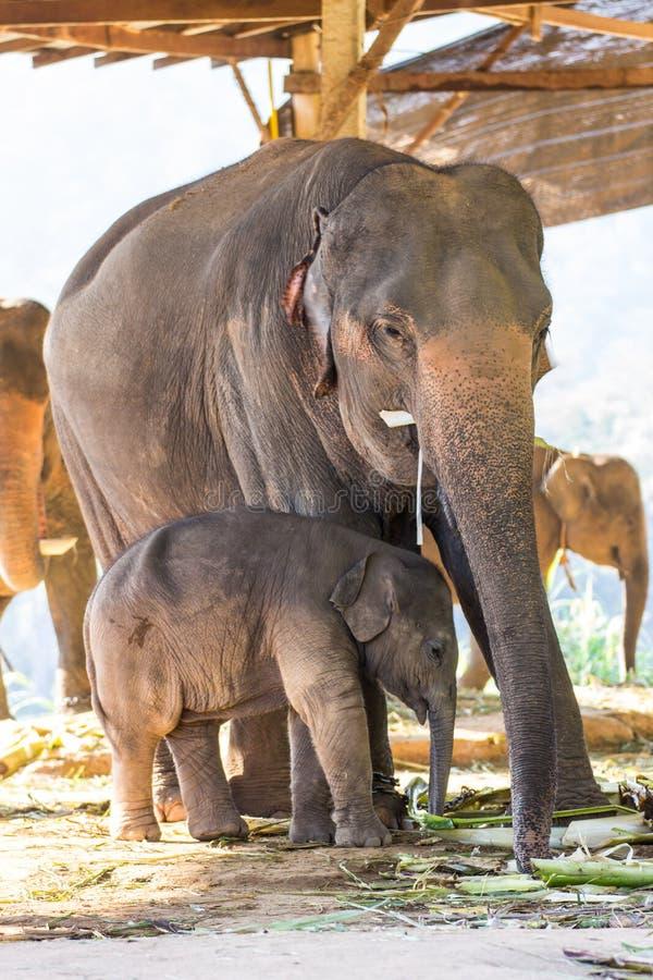 Тайские слон и мать младенца стоковая фотография