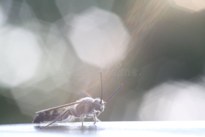 Тайские экзотические пчелы черепашок стоковое изображение rf