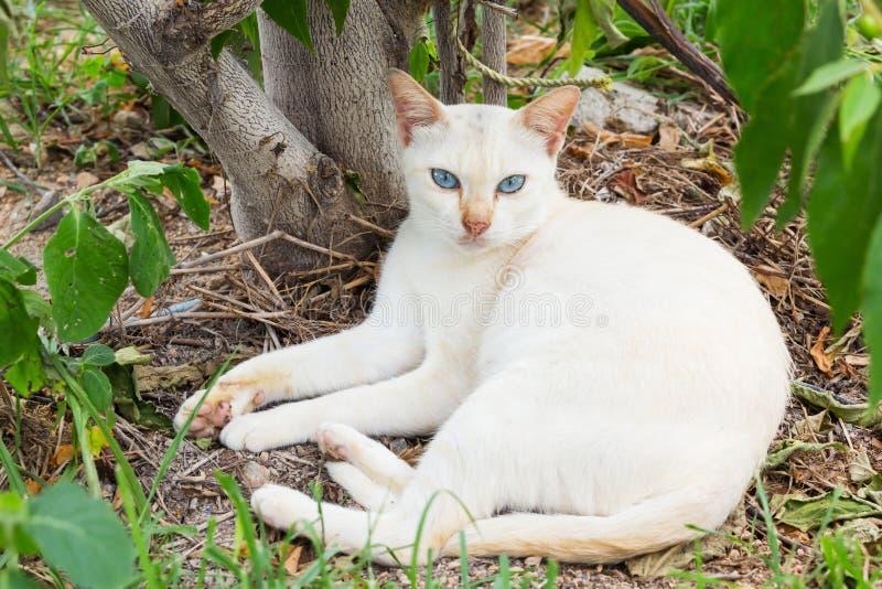 Тайский белый кот стоковое изображение