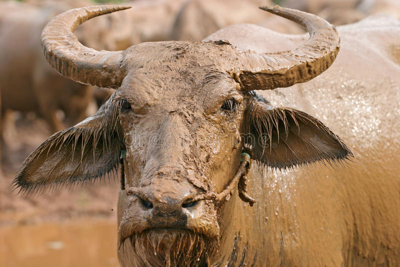 Тайский буйвол стоковые изображения