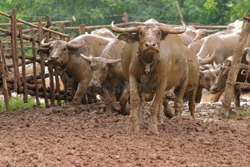 Тайский буйвол стоковое изображение