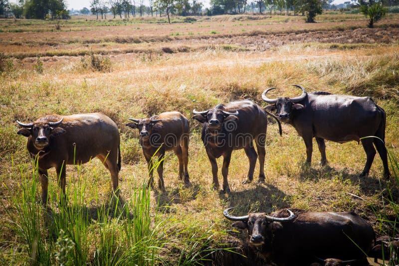 Тайский буйвол на поле риса, индийском буйволе в Таиланде стоковое фото